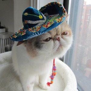 A cat in a sombrero